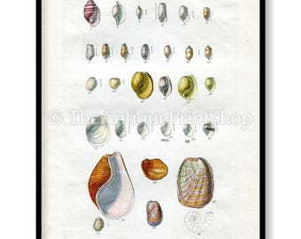 Shell Print Antique Reproduction. Plate XX from British Shells by Sowerby pub. 1859. Wall Decor for, Hamptons, Shabby Chic, Beach House
