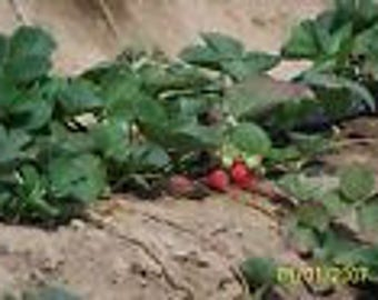 "ORGANIC STRAWBERRY PLANTS - 1/4"" root -eversweet,everbearing 130 count U.S.A."