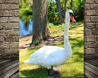 Nature Photograph,Swan Photo, Swan at Lake, Instant DOWNLOAD
