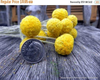 Save25% Craspedia-12 MINI short stem-Billy Balls-Billy Buttons-Dried Yellow Wedding Flowers-Bundle of 12