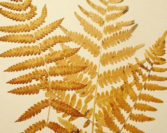 6 Pressed Ferns, Golden Fall Ferns, Whole Fern Fronds, Pressed Flower Supply, Real Dried Preserved Ferns, Floral Supply, Pressed Botanicals