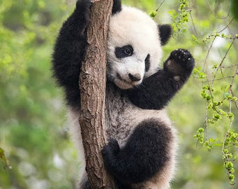 BABY PANDA Playing PHOTO, Baby Animal Photograph, Baby Animal Print, Wildlife Photography, Wall Decor, Safari Nursery Art, Kids Room Decor