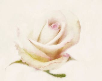 Distressed white rose with pink accents vintage inspired watercolor photography nature print wall art fine art photograph white home decor