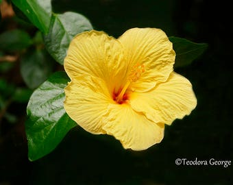 Yellow Hibiscus Photography, Wall Print, Botanical