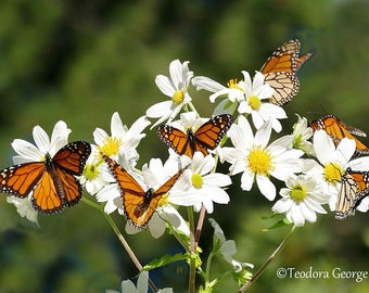 Monarch Butterflies Photography, WIldlife Photography, Nature Photography, Yellow, White Flowers, Spring Photography, Butterfly