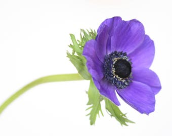 Purple Anemone, Flower Photography, Flower Photo, Fine Art Print, Purple Flower, Floral Photography, Close Up, Studio, White Background