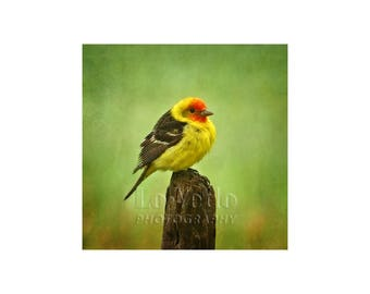 Tanager Photograph, Bird, Wildlife, Western Tanager, Nature Photography, Spring Green