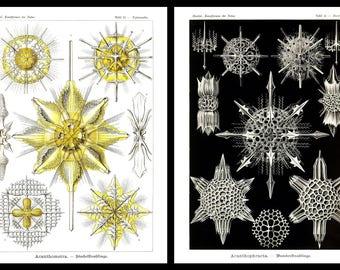 Ernst Haeckel's Vintage Artwork Acantharia Set