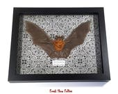 real taxidermy horseshoe bat specimen shadow box