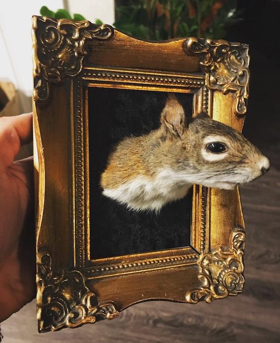 Framed Taxidermy Squirrel Head Mount