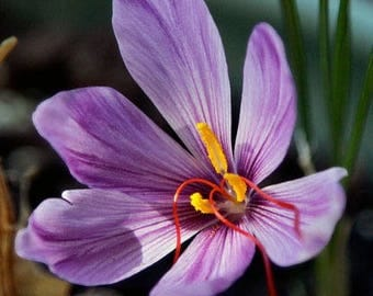 Saffron Crocus seeds,purple white  saffron crocus seeds,crocus of Kozani seeds,217,gardening,
