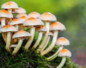 Mushrooms  seeds, ornamental mushroom seeds, code 524, mushroom collection, gardening, flower seeds