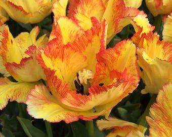 """BSTP) 4~""""CARIBBEAN"""" PARROT Tulip~Bulbs!!~~~~~~~~~Stunning!"""