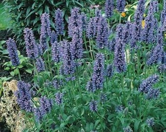 Catmint (Nepeta Mussinii) Lavender Blue * Deer Resistant!! 50 Seeds