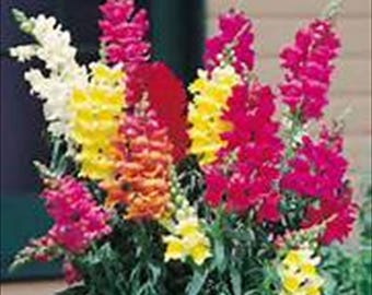 10,000 Snapdragon Northern Lights/Toadflax * 10,000 SEEDS