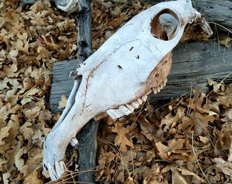 Wild Mustang Horse Skull, Real Animal Skull, Taxidermy, Real Animal Bones, Horse Teeth, Western Home Decor, Vintage Decor, Log Cabin Decor