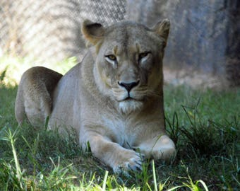"Title ""Lioness at Rest"" - NC Zoological Park, September, 2017 Digital Photo"