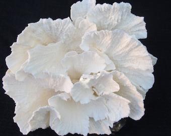 Natural White Poca Coral