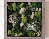 Framed Vertical Wall Garden with Multiple Air Plants and Reindeer Moss with Lichen 10x10 inches 4 frame color options