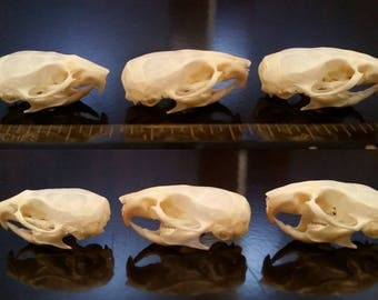 Mouse Skull - ChippersTaxidermy
