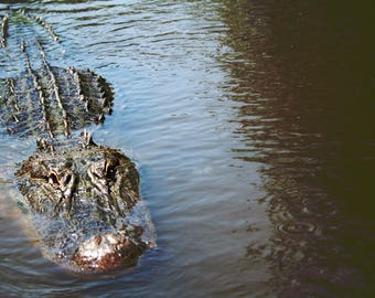 Alligator, New Orleans