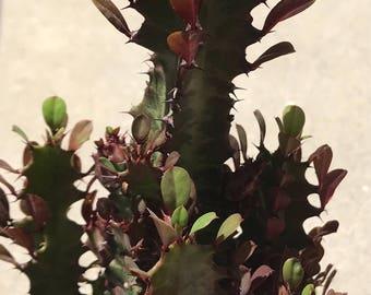 "Euphorbia Trigona 'Royal Red' Cactus 12""-18"""