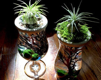 Marimo Moss Ball. Air Plant.Stone Top.Vase. Mini Aquarium/Terrarium