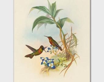 Hummingbird Print (Antique Cottage Wall Art, Vintage Bedroom Decor) John Gould Birds Illustration