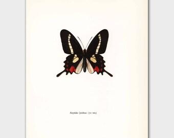 "Butterfly Art Print (Vintage Artwork, 1960s  Butterfly Wall Decor) --- ""Crimson Brazilian"" No. 36-1"