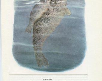 Phoque 1970 illustration vintage de phoque Peinture de phoque Illustration animalière Mammifère marin Cadeau pour biologiste