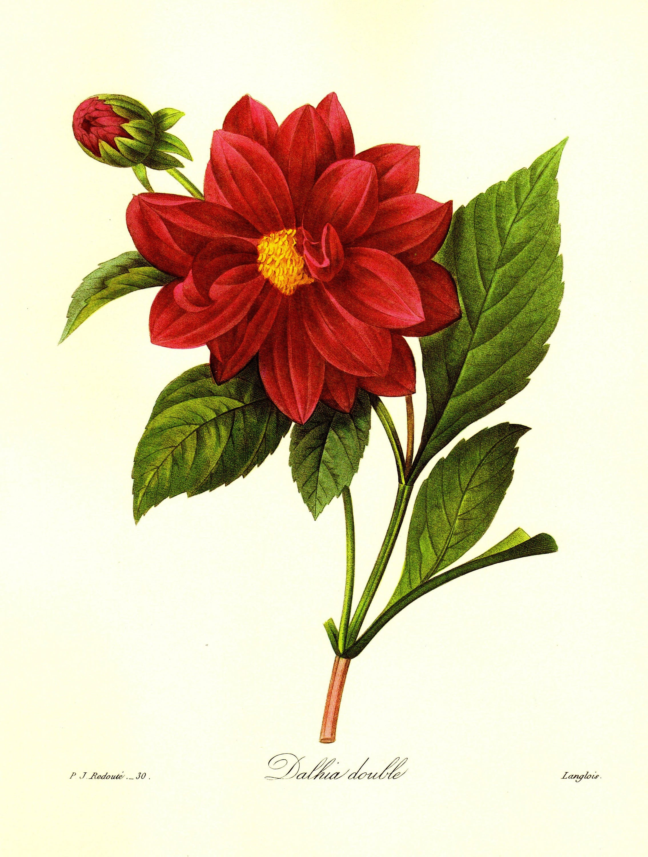 Vintage Red Dahlia Print Redoute Botanical Print Gift For Gardener Cottage  Garden Decor Red Gallery Wall