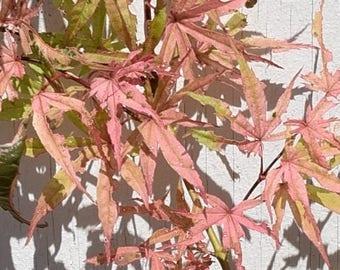 Geisha Japanese Maple Tree