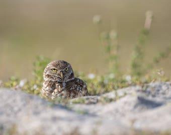 Burrowing Owl Photo and/or Metal Print