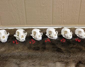 Texas Bobcat Skulls