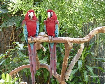 Red Parrots Photography, Wildlife Photography, Bird Photography