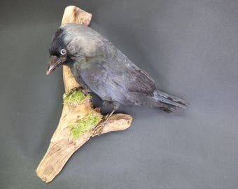 TAXIDERMY Jackdaw. Wall Mounted. Old Collection. (Corvus monedula) Crow Family.