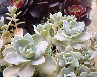 Chinese Dunce Caps/Succulent plant/succulents/indoor plant/succulent arrangement/live plants/cactus/succulent wedding