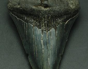 Megalodon Fossil Tooth, South Carolina.