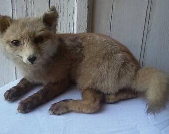 Taxidermy Fox / fox cub taxidermy Vintage