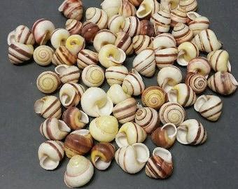 Striped Land Snail Seashells  (5 Shells)