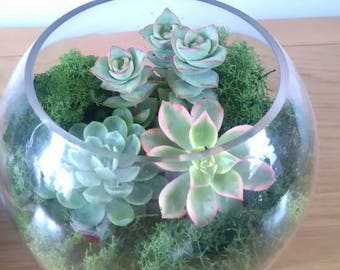 Large Glass Succulent/Cacti TerrariumBowl Kit