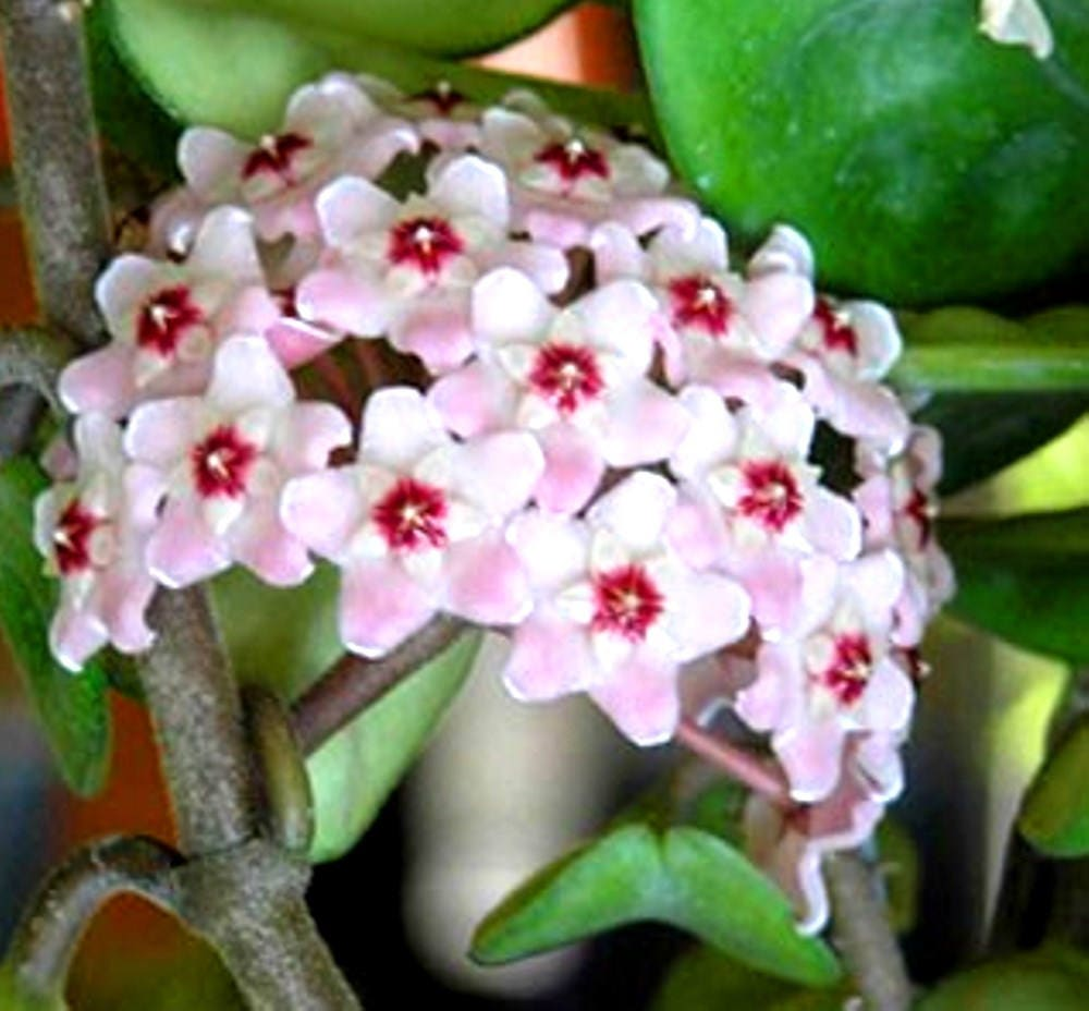hoya plant carnosa krinkle eight soft pink flowers. Black Bedroom Furniture Sets. Home Design Ideas
