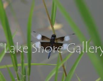 Instant Download Widow Skimmer Dragonfly in Pond Grass (17-160)