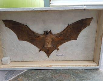 Horseshoe bat taxidermy
