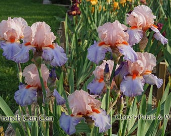 French Cancan  2002 Tall Bearded Iris   Pink, Lavender and Blue