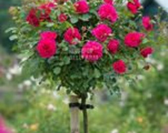 Rose Tree Rose red Perenial Flower  50 seeds pack big blooms strong fragrant home garden flowers