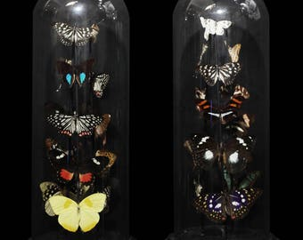 Taxidermy butterflies display glass dome victoriana