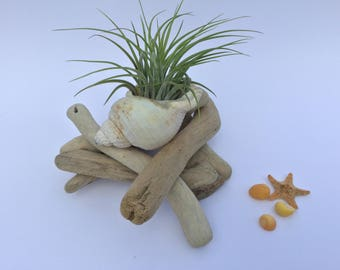 Air plant driftwood display, a unique houseplant gift!