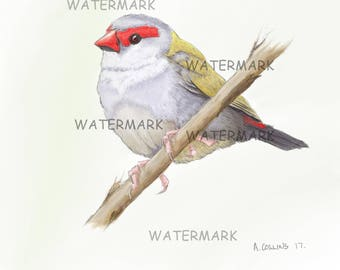 Red Browed Finch. A4 artists print.