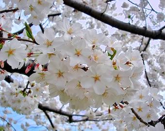 Japanese Yoshino Flowering Cherry Tree
